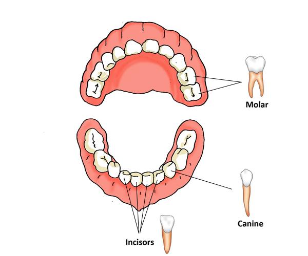 child teeth